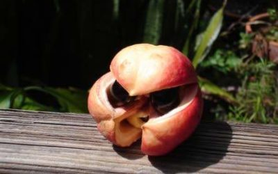 Be careful of that unripe ackee